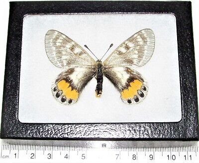 Real Framed Butterfly Parnassius Autocrator Female Rare