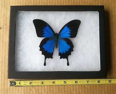 Real Metallic Blue Indonesian Papilio Ulysses Framed Butterfly