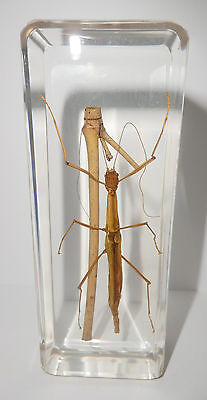 Large Stick Insect in 110x43x18 mm Clear Block Eduction Real Specimen