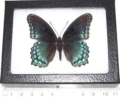 Real Framed Butterfly Limenitis Arthemis Astyanax New York Red Spotted Purple