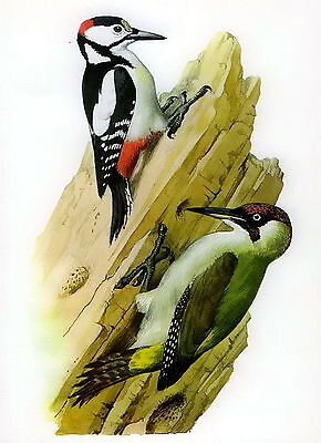 Antique Old Vintage TUNNICLIFFE Litho Art Bird Print Great Spotted WOODPECKER