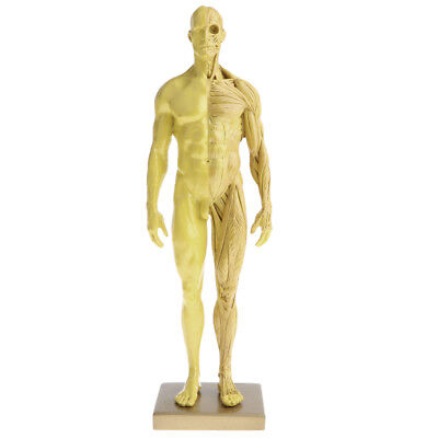 MALE ANATOMY FIGURE: 11-inch Anatomical Reference for Artists (Grey ...