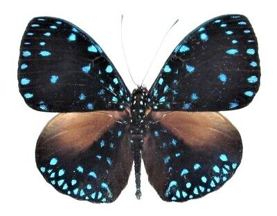 One Real Butterfly Blue Hamadryas Laodamia Peru Unmounted Wings Closed