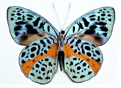 One Real Butterfly Blue Eunica Chlorochroa Verso Peru Unmounted Wings Closed