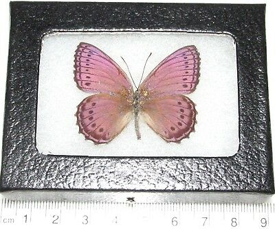 Real Framed Butterfly Pink Purple Sallya Crenis Pechueli Africa