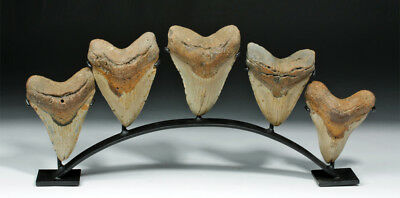 ARTEMIS GALLERY 5 Fossilized Megalodon Teeth on a Custom Stand