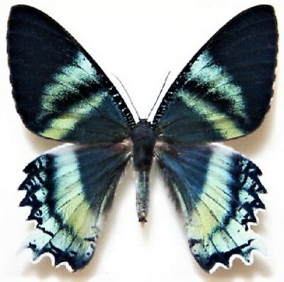 One Real Day Flying Moth Blue Alcides Orontes Indonesia Unmounted Wings Closed