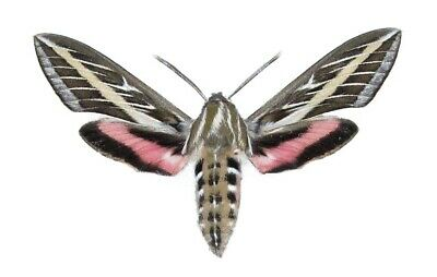 One Real Sphinx Moth Hyles Lineata White Lined Sphinx Az Unmounted Wings Closed