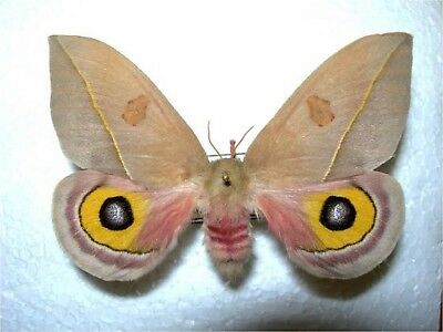 One Real Saturn Moth Automeris Cecrops Pamina Female Unmounted Wings Closed