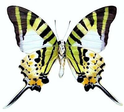 One Real Butterfly Green Graphium Antiphates Verso Unmounted Wings Closed