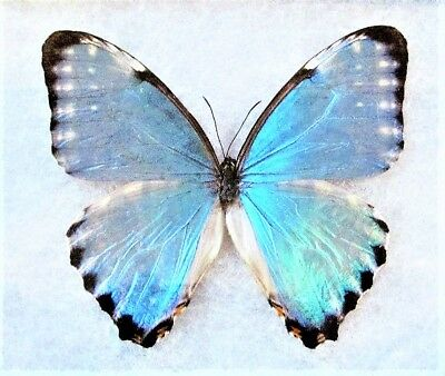 One Real Butterfly Blue Morpho Portis Unmounted Wings Closed