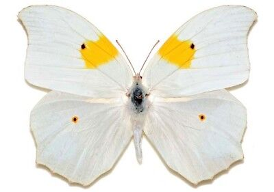 Lot Of 10 - Real Butterfly White Yellow Anteos Clorinde Peru Wings Closed