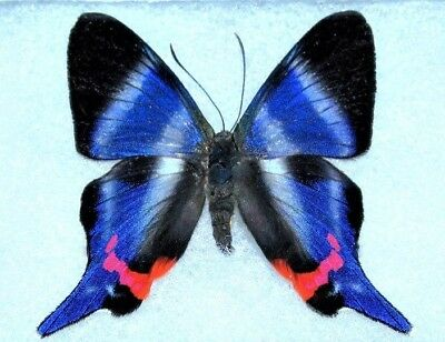 Lot Of 10 - Real White Blue Peruvian Rhetus Dysonii Butterfly Wings Closed