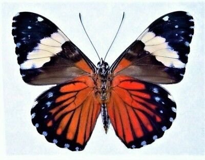 Lot Of 10 - Real Butterfly Red Hamadryas Verso Peru Unmounted Wings Closed
