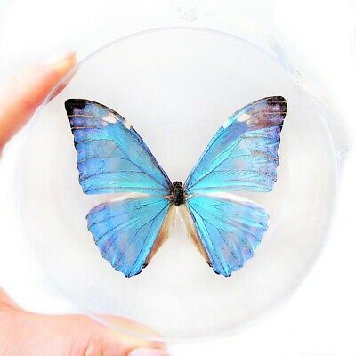 Real Blue Morpho Marcus Adonis Butterfly Christmas Ornament Clear Ball Gift