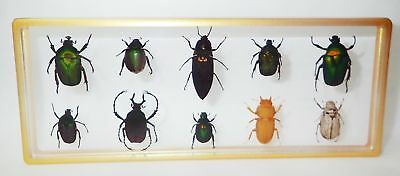 10 Beetle Collection Set Golden Frame Painted Clear Block Education Specimen