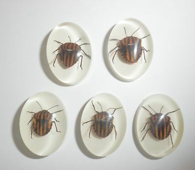 Insect Cabochon Stripe Bug Specimen Oval 18x25 mm on white bottom 5 pieces Lot