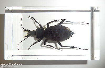 Spotted Tiger Ground Beetle Carabus pustulifer Clear Education Insect Specimen