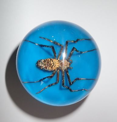 Wasp Spider Specimen 60 mm Sphere Ball Vechicle Shift Knob on Blue Bottom