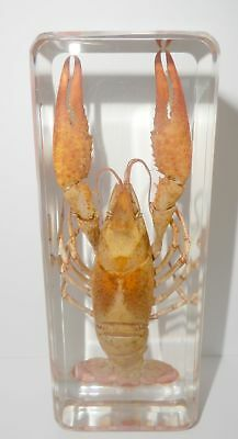 Red Lobster Freshwater Crayfish Procambarus clarkia Education Real Specimen