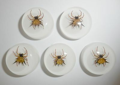Insect Cabochon Spiny Spider Specimen Round 25 mm on White 5 pieces Lot