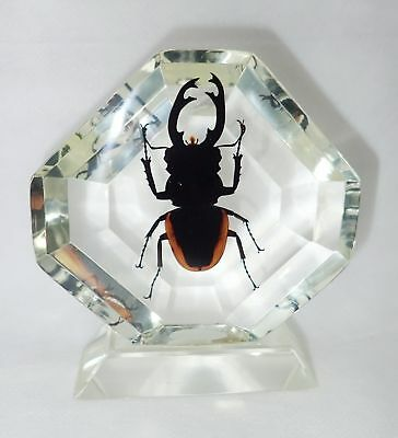 Insect Table Stand Golden Stag Beetle Odontolabis cuvera Specimen Clear KCD101B