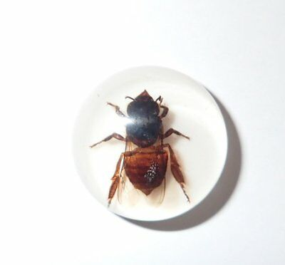 Insect Cabochon Honey Bee Apis mellifera Round 19 mm on white 1 Piece Lot