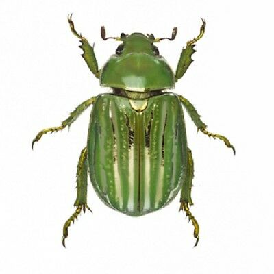 One Real Green Gold Chrysina Gloriosa Scarab Beetle Arizona Pinned