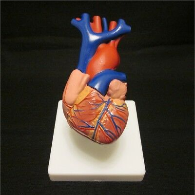 New Human Heart Life Size Anatomical Anatomy Model 2 Parts