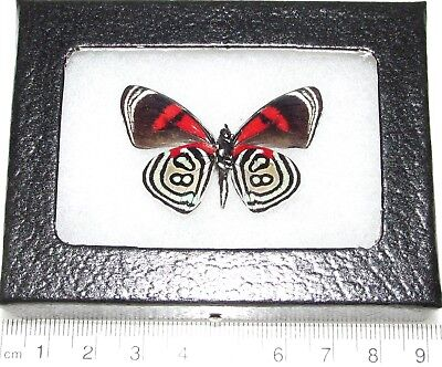 Real Framed Butterfly Red White Callicore Kolyma Verso