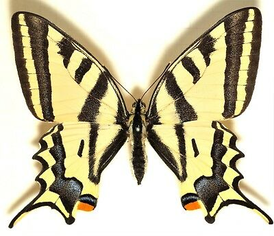 One Real Butterfly Papilio Alexanor Unmounted Wings Closed