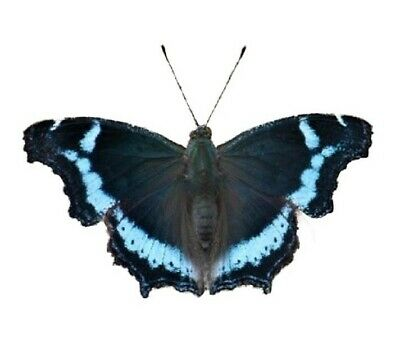 One Real Butterfly Blue Admiral Kaniska Canace Unmounted Wings Closed