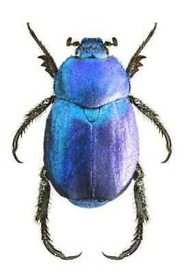 One Real Blue Hoplia Coerulea Scarab Beetle France Pinned