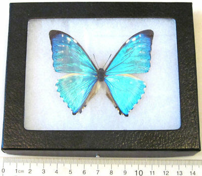Real Framed Butterfly Blue Morpho Zephyritis