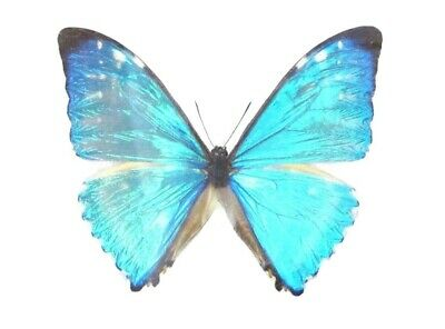 One Real Butterfly Blue Morpho Zephyritis Unmounted Wings Closed