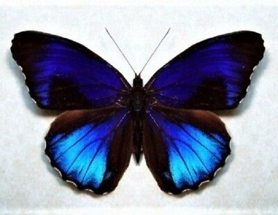 One Real Butterfly Blue Eunica Alpais Peru Unmounted Wings Closed