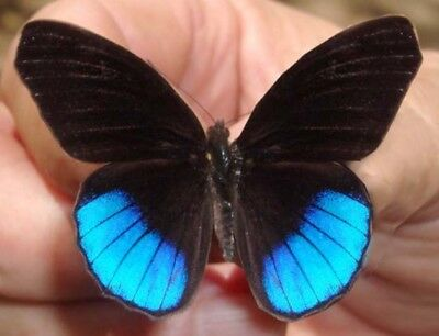 One Real Butterfly Blue Eunica Norica Peru Unmounted Wings Closed