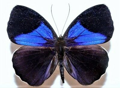 One Real Butterfly Blue Eunica Amelia Peru Unmounted Wings Closed