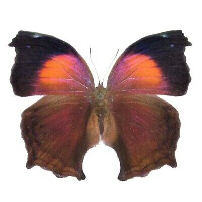 One Real Butterfly Salamis Cacta Africa Unmounted Wings Closed