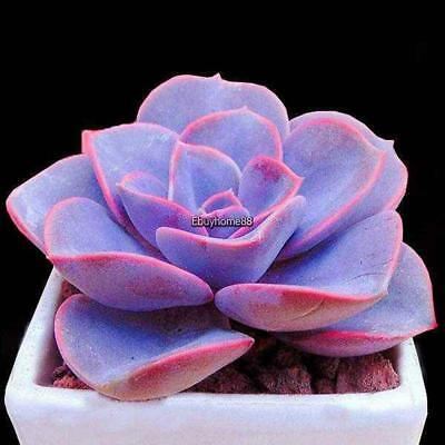 Purple Succulent Plant Seeds Potted Bonsai Flower Seeds Home Garden EHE8 01