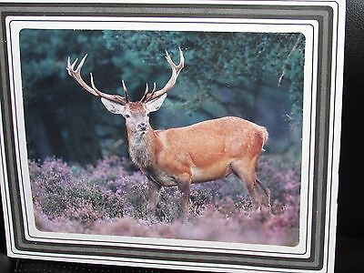 """Matted 12 x 10"""" Color Picture of Buck Deer / Elk Simply Gorgeous!!"""