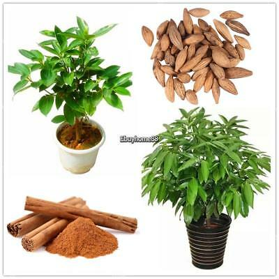 Cinnamon Dwarf Trees Seeds Bonsai Tree Seeds Home Garden Planting EHE8 01