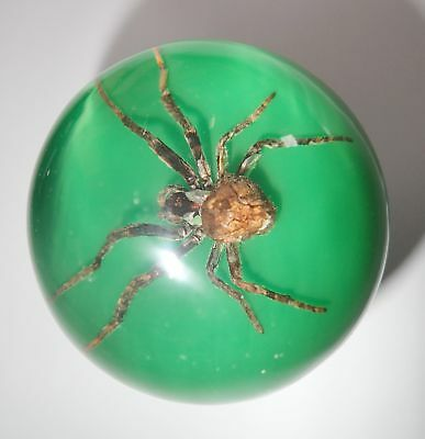 60 mm Insect Sphere Ball Ghost Spider Araneus ventricosus Specimen green bottom