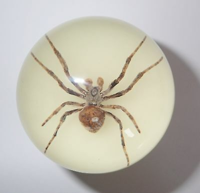 60 mm Insect Sphere Ball Ghost Spider Araneus ventricosus Specimen Glow