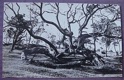 1930's Koa Tree Big Island TH Hawaii AZO RPPC