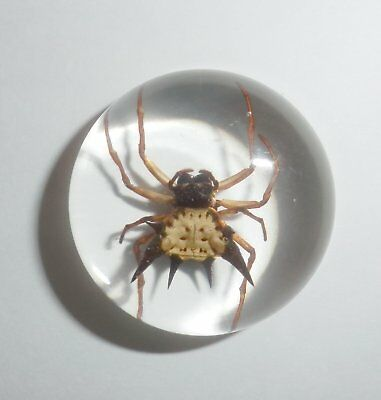 Insect Cabochon Spiny Spider Specimen Round 25 mm Clear 1 piece Lot