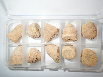 10 Marine Rugose Horn Coral Fossil Set in Clear Plastic Box Education Specimen