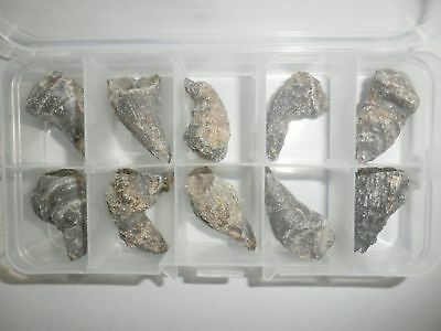 10 Horn Shape Fossil Coral Kueichouphyllum Fossil Collection Set in Clear Box