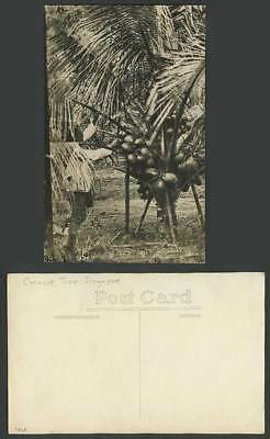 Singapore Old Real Photo Postcard Cocoanut Tree with Lots of Coconuts Native Man