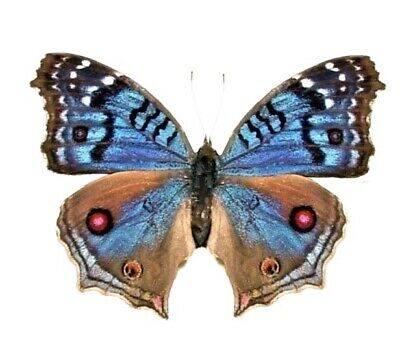 One Real Blue Precis Rhadama Female Africa Unmounted Wings Closed